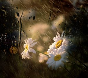 flower-in-rain1